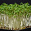 Řeřicha: Nenáročná bylinka plná zdraví