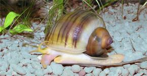 Ampulárie – oblíbení šneci sladkovodních akvárií (2. díl)
