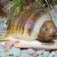 Ampulárie – oblíbení šneci sladkovodních akvárií (1. díl)