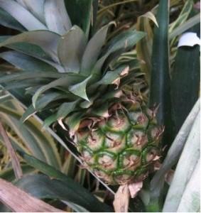Zakoupit můžete i exotické rostliny - Ananas