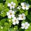 Bacopa zvaná brahmi – bylinka do čaje i akvárií