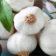 Vše o česneku: Dokonalá rostlina, potravina a lék