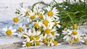 Heřmánek: Přírodní lék