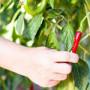 Chilli papričky – Koření pro krásu a do kuchyně