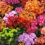Chryzantéma – květina císařů