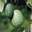 Okurkové mini melounky: Trocha exotiky nejen v naší kuchyni