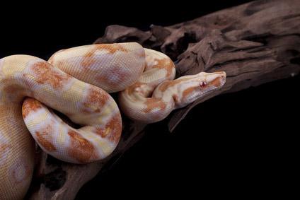Albín had