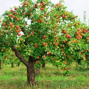 Jablečný sad