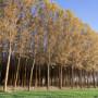 Japonský topol – Stále populárnější rychle rostoucí dřevina