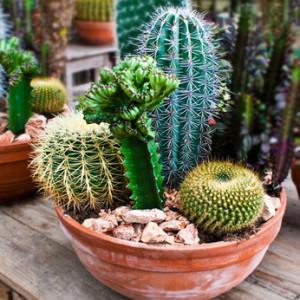 Kaktusy v květníku