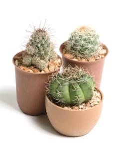 Typické domácí kaktusy