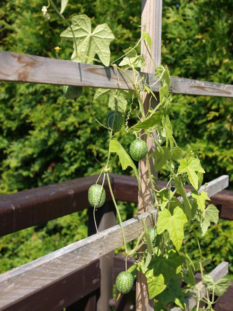 Rostlina v české zahrádce