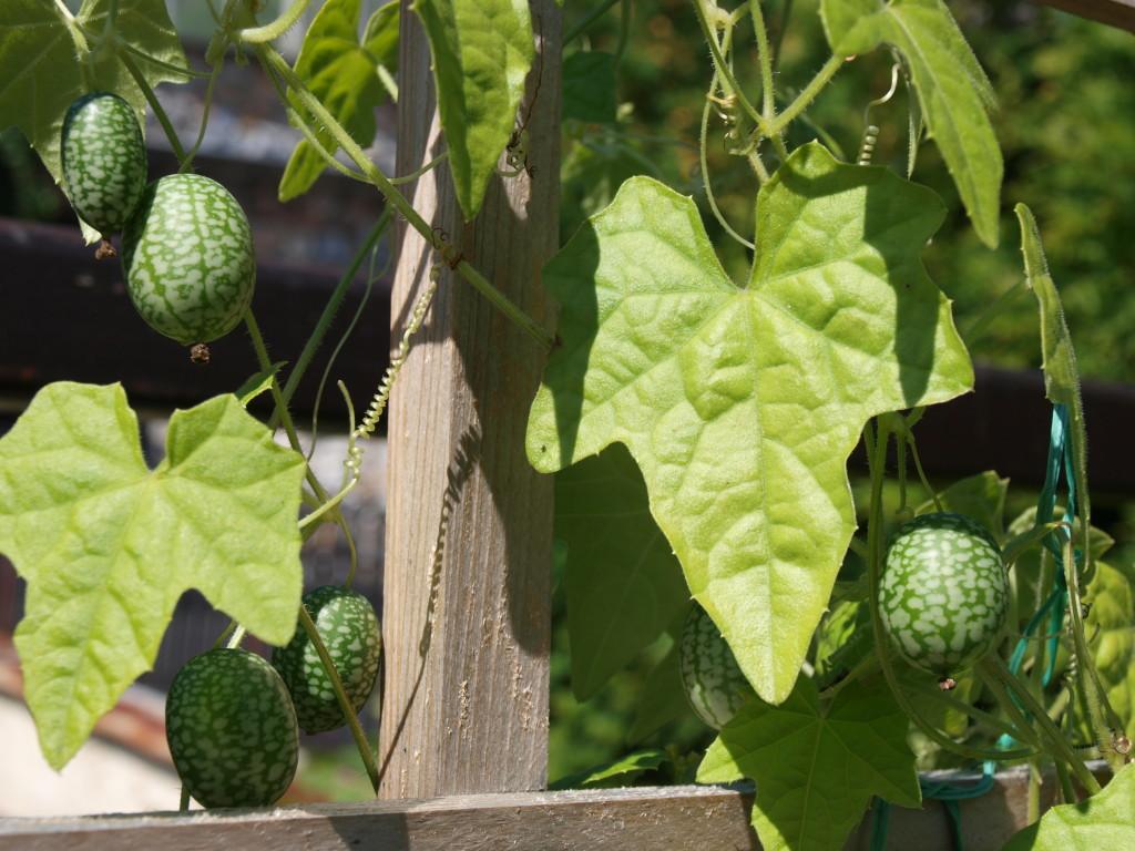 Cucamelon - listy a plody rostliny