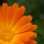 Měsíček lékařský – král léčivých rostlin