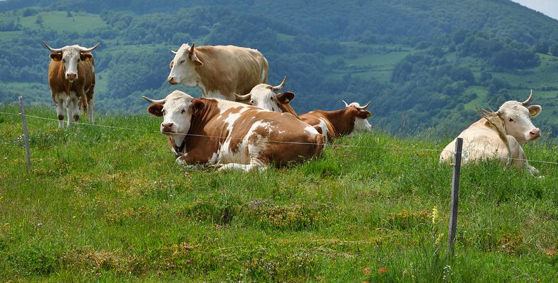 Ohradníky s krávami