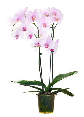 Orchidej zalévání