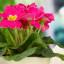 K jaru patří petrklíč