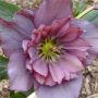 Jaké rostliny kvetou na zahradě v zimě?