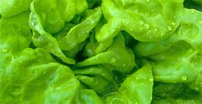 Hlávkový salát – první jarní zelenina