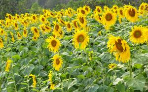 Pěstování slunečnic