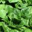 Zajímavosti o špenátu a špenátové recepty
