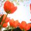 Krása jarních cibulovin