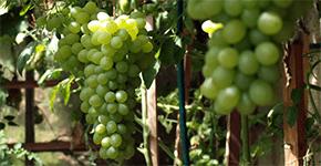 Vinná réva ve skleníku, zahradě i kuchyni: Rady a tipy nejen na pěstování