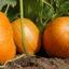 Jak pěstovat dýni na zahradě, abychom měli hojnou úrodu