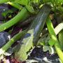 Jak pěstovat cuketu od výsevu pro sklizeň