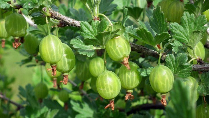 Ošetření angreštů a dalších ovocných keřů