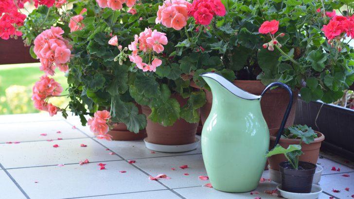 Namnožte si snadno balkonové rostliny