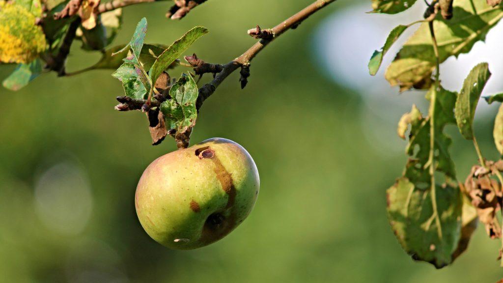 Červivé jablko