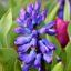 Výsadba hyacintů: rady a inspirace