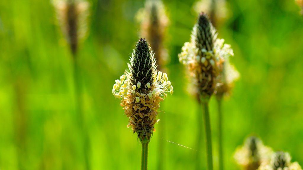 Jitrocel kopinatý – popis byliny