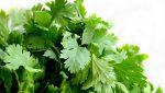 Koriandr setý: Oblíbená bylina ze Středozemí