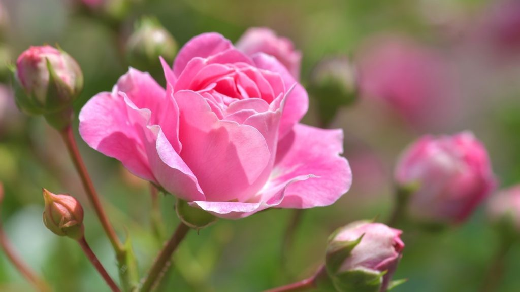 Kvetoucí růžová růže