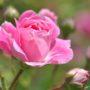 Čas podzimní výsadby růží: Připravte se na něj