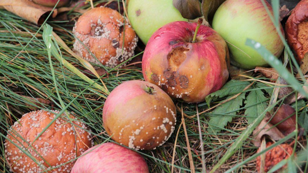 Monilioza, hniloba jablek, zhnilá jablka