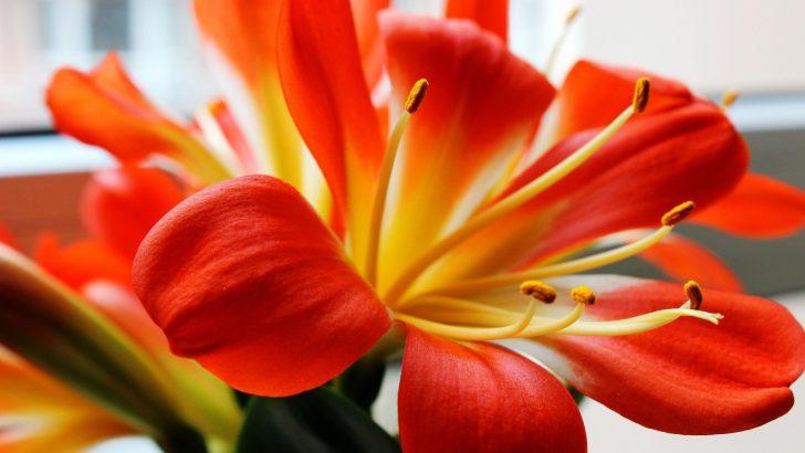 Jak pečovat o řemenatky v zimě, aby kvetly