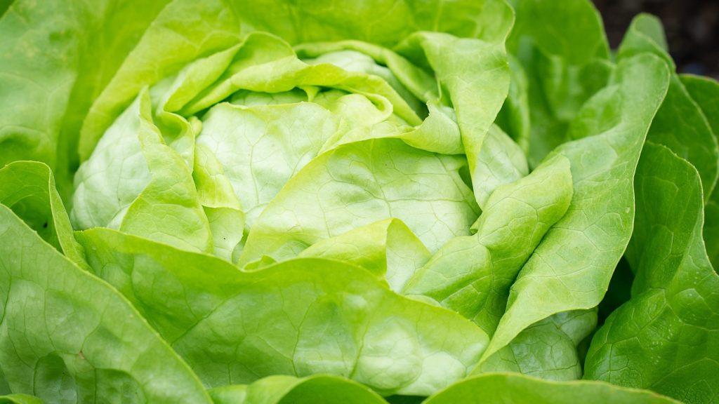 Domácí pěstování salátu