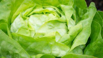 Zimní salát: otužilá odrůda pro jarní sklizeň