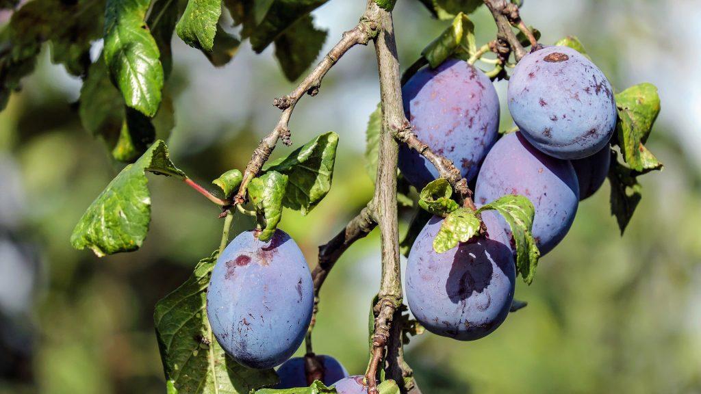 Zralé švestky na stromě