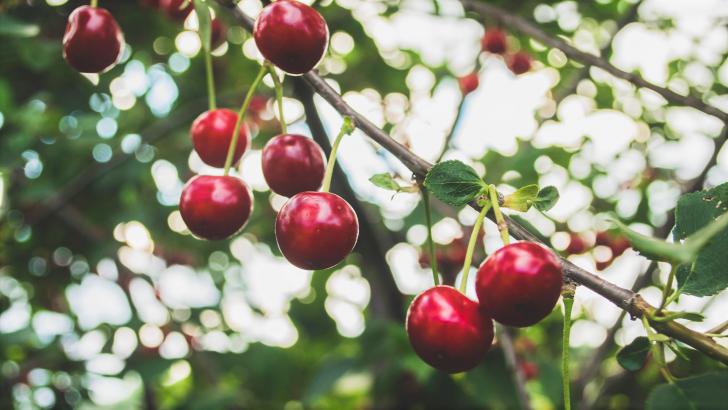 Červnová péče o třešně a příprava na sklizeň