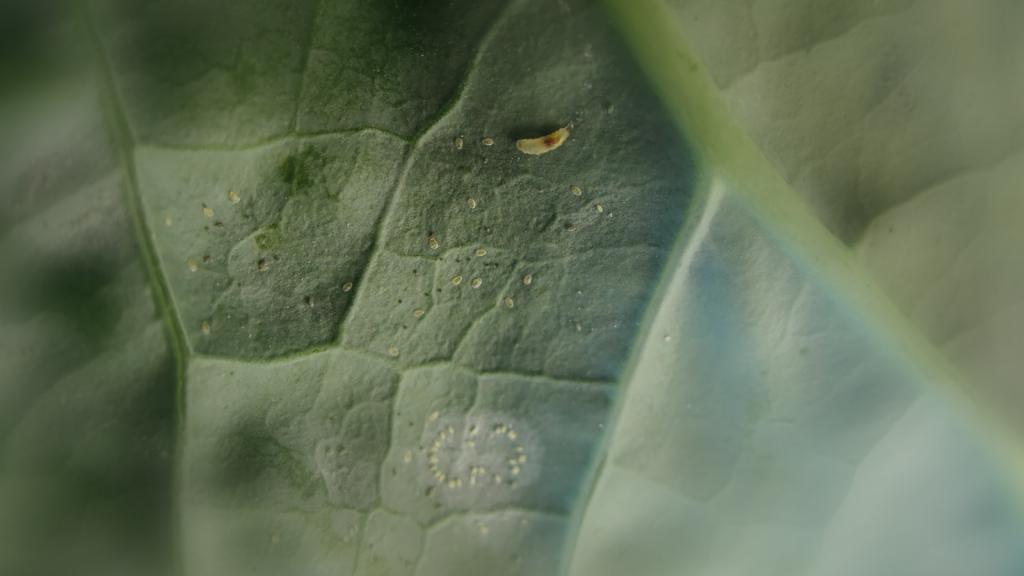 Plodomorka zelná