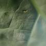 Jak ochránit zeleninu před plodomorkou zelnou