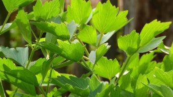 Libeček lékařský: afrodiziakální bylina i chutné koření