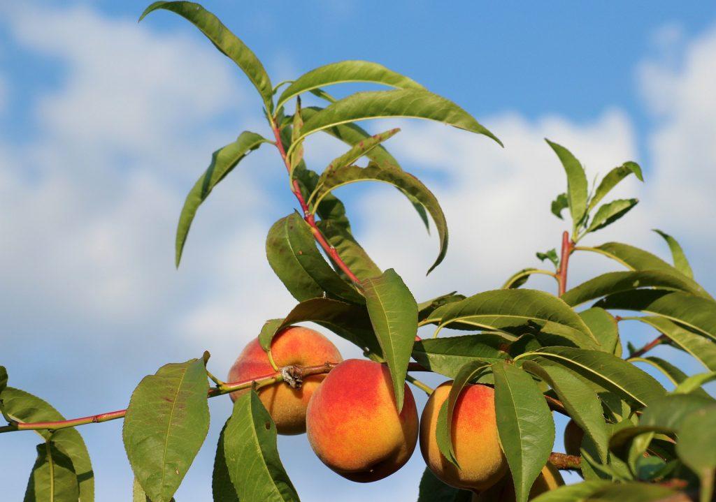 Větvě broskvoně s plody
