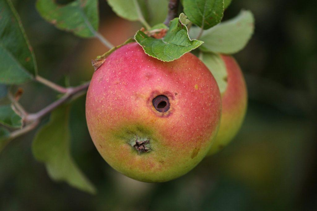 Červivé jablko, jabloň
