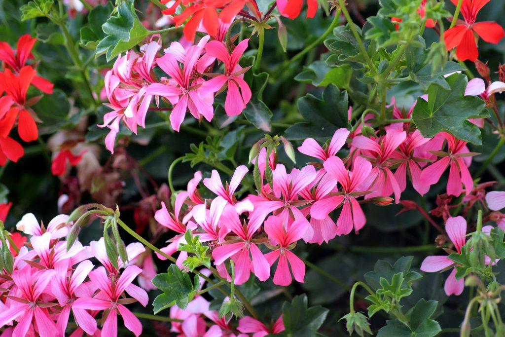Růžové a červené muškáty