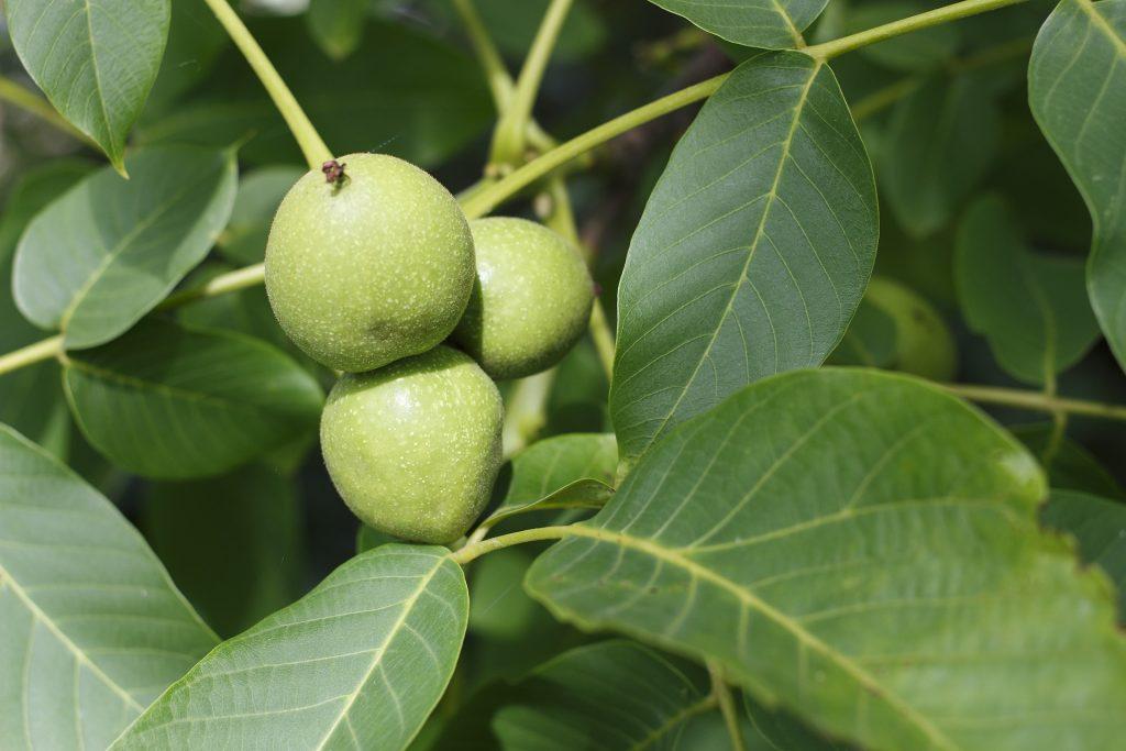 Plody ořešáku královského na stromě